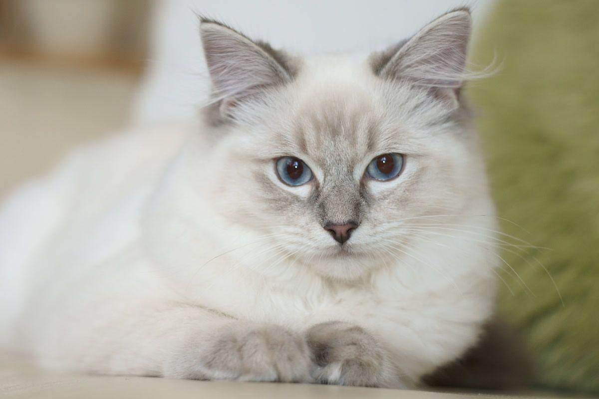 siamese x ragdoll kittens - photo #31