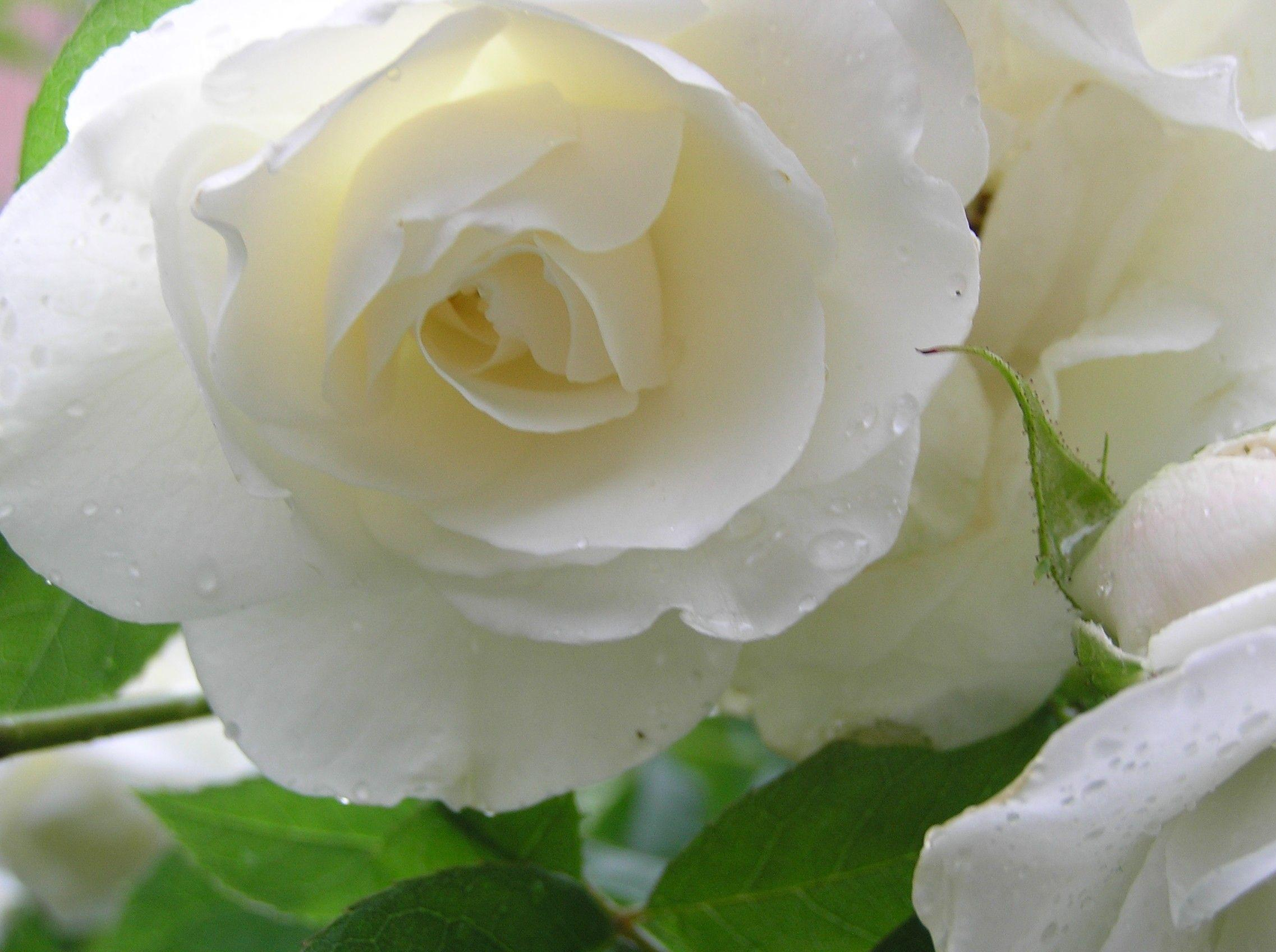 White Roses Wallpapers Wallpaper Cave