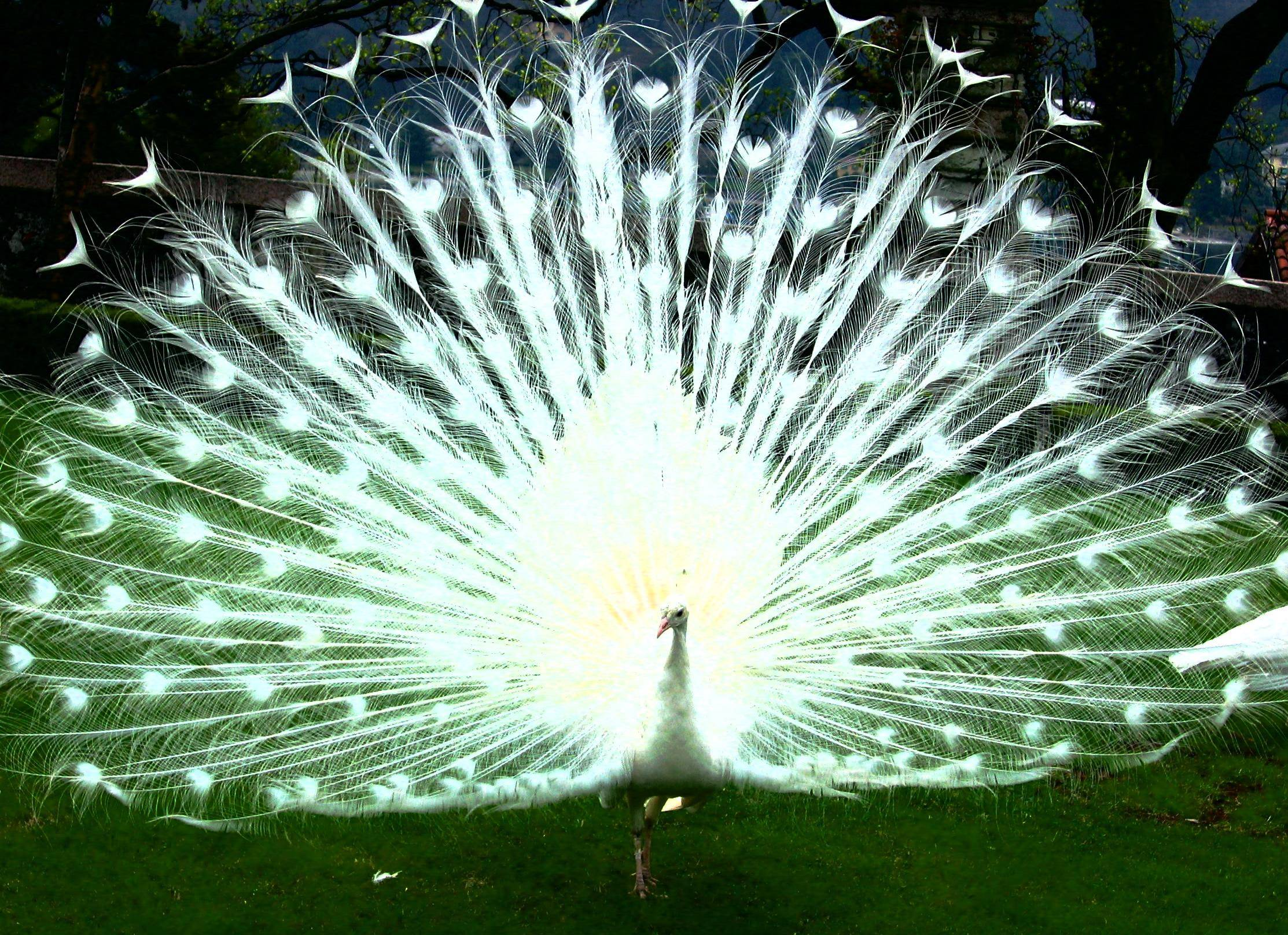 White Peacock Wallpapers and Backgrounds
