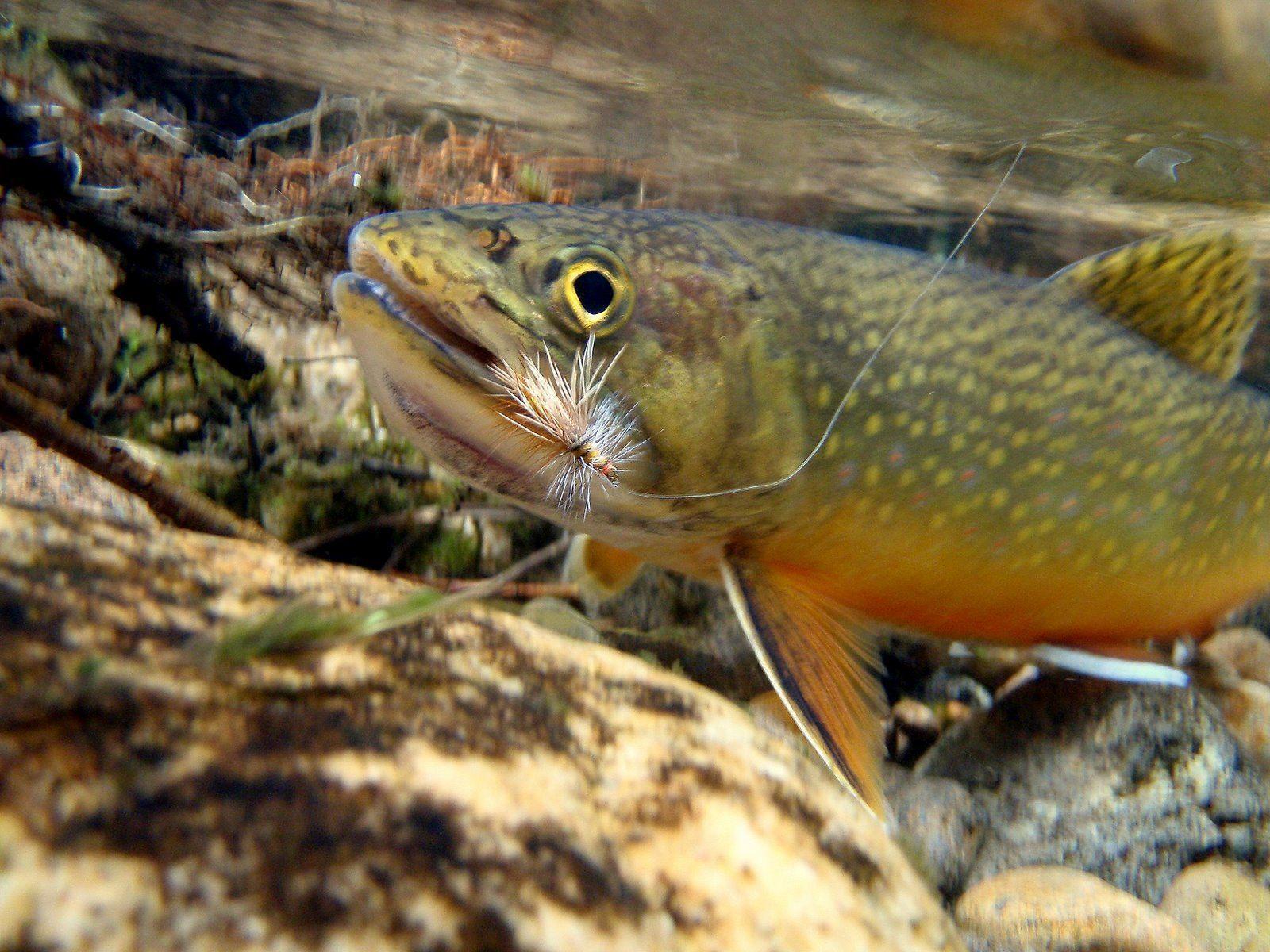 Trout Fishing Wallpaper Free