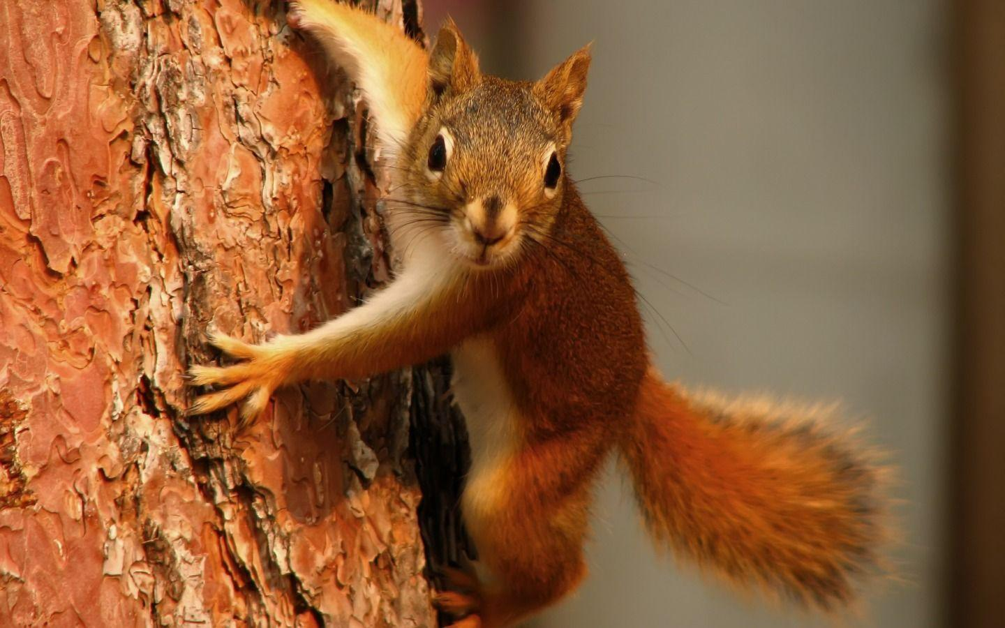 Curious squirrel wallpaper - HD Tiger | hd wallpapers | mobile ...