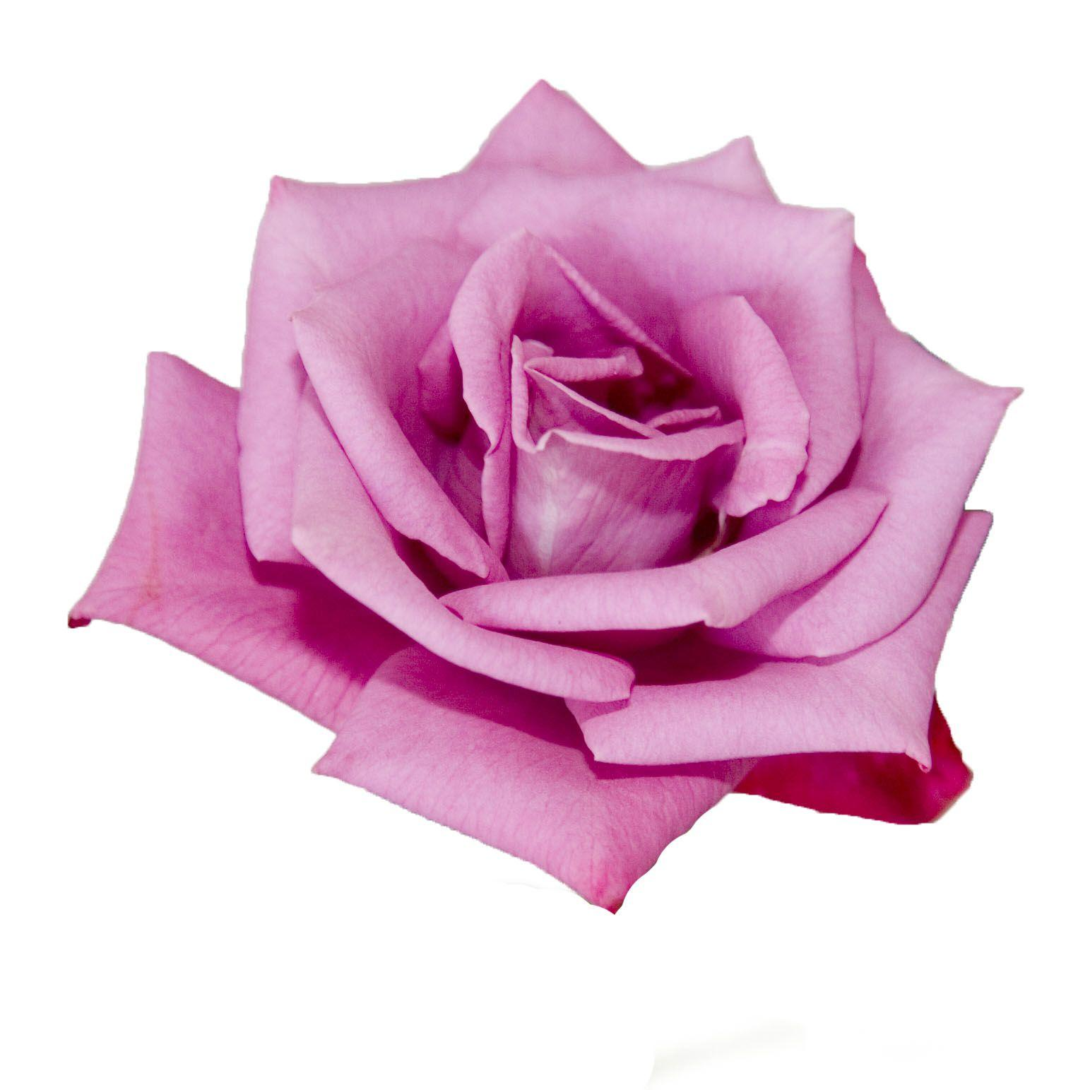 pink rose white backgrounds wallpaper cave