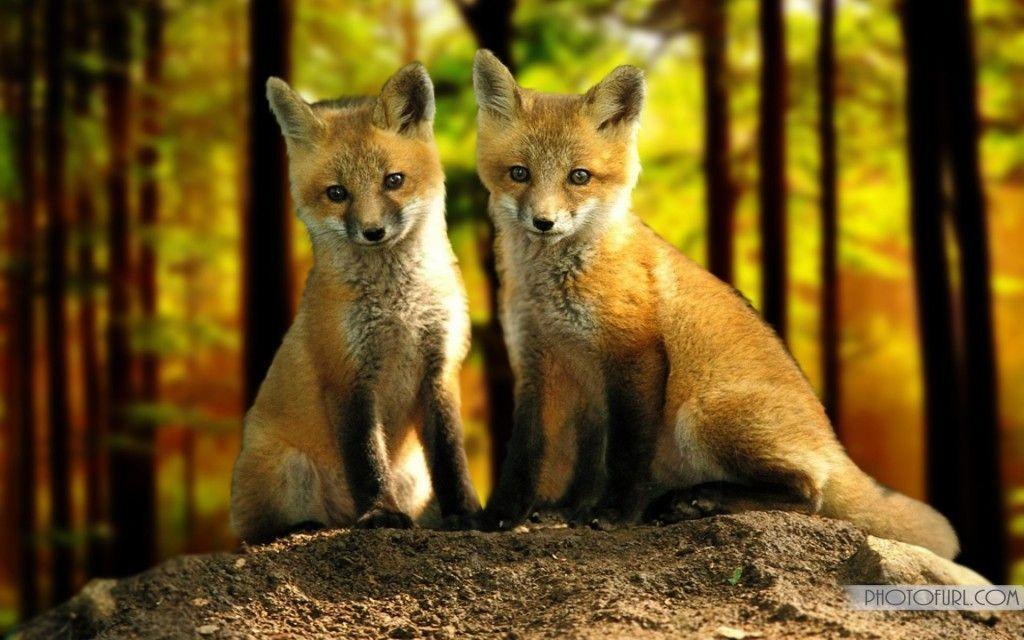 Pix For > Cute Baby Fox Wallpaper