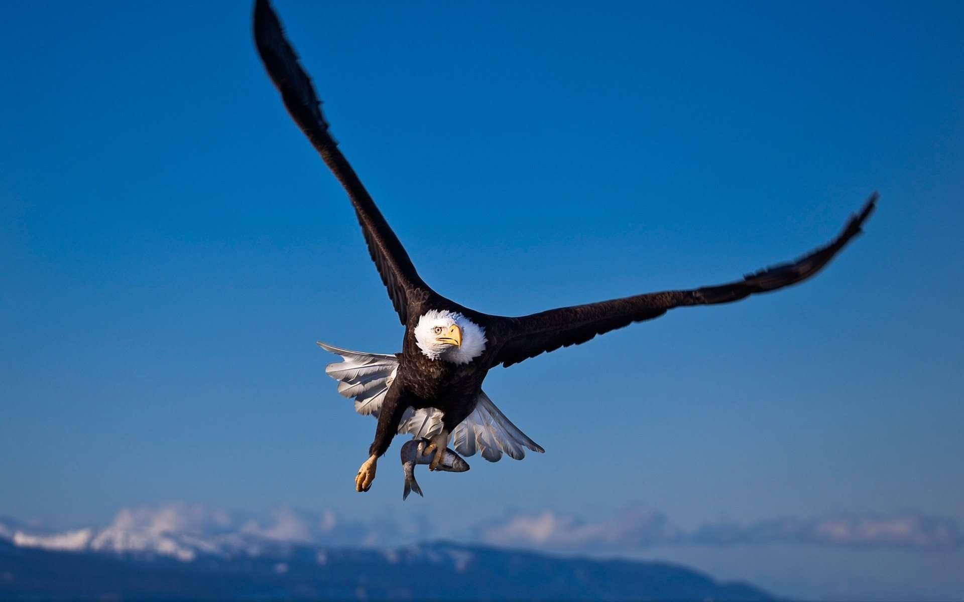 Hd wallpaper eagle - Bald Eagle Wallpapers Hd Wallpapers Inn