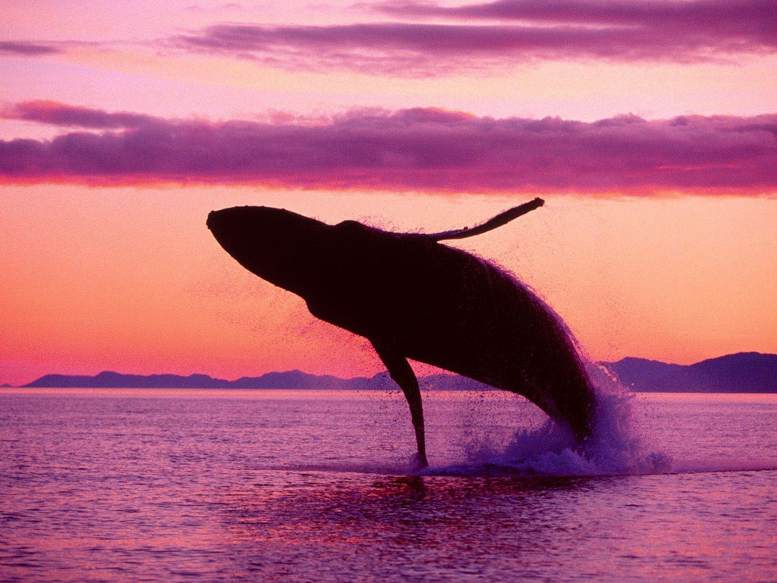 Killer Whale Photos Orca Wallpapers| HD Wallpapers ,Backgrounds ...