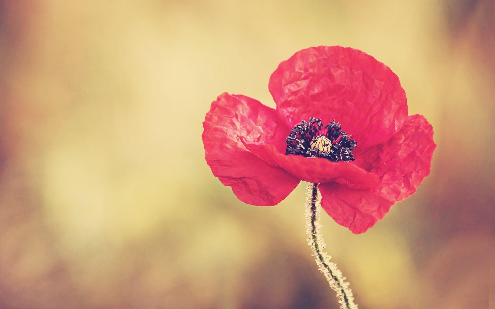 download wallpaper poppies red - photo #32
