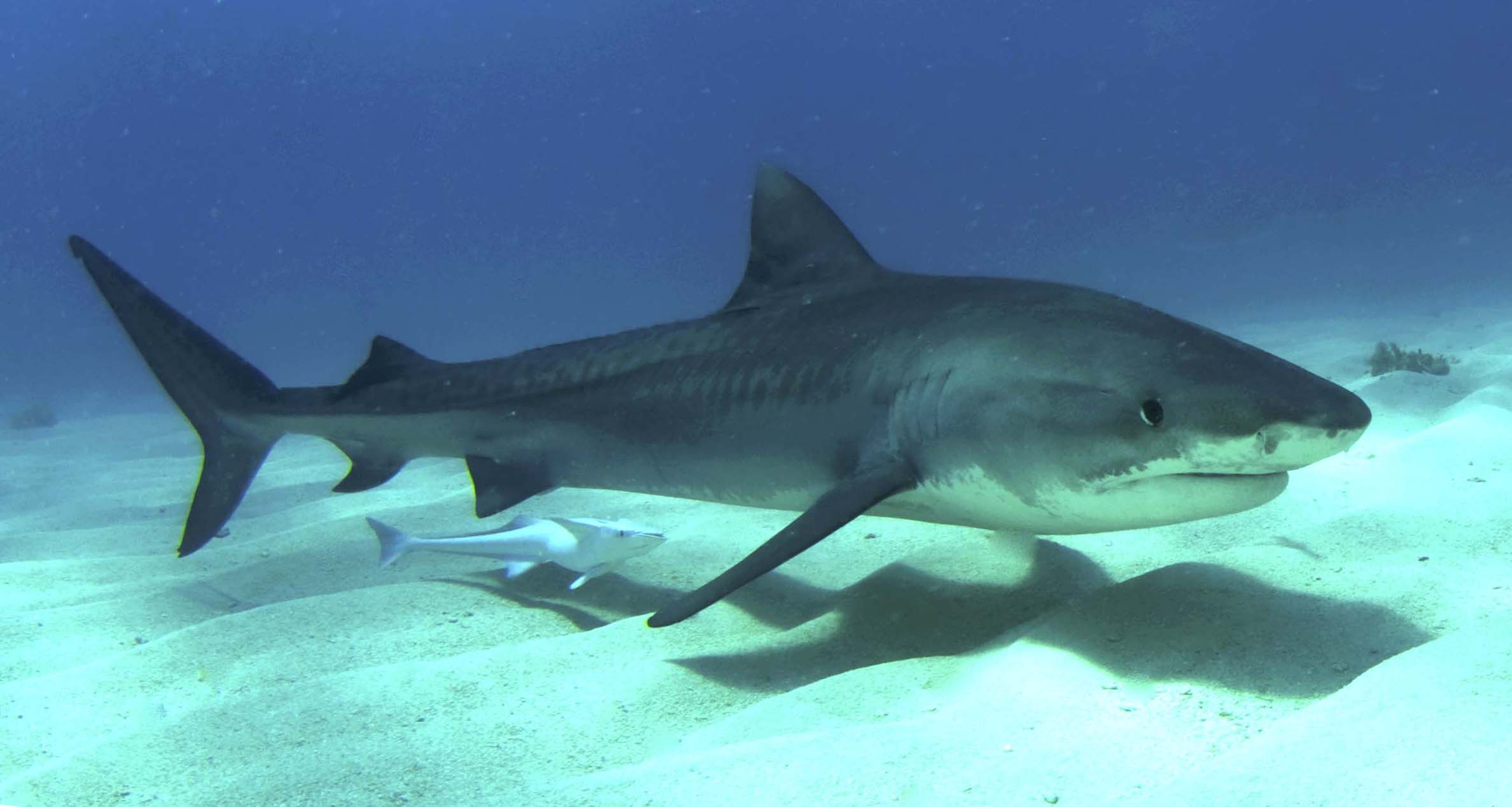 Shark Wallpaper HD Page of  i