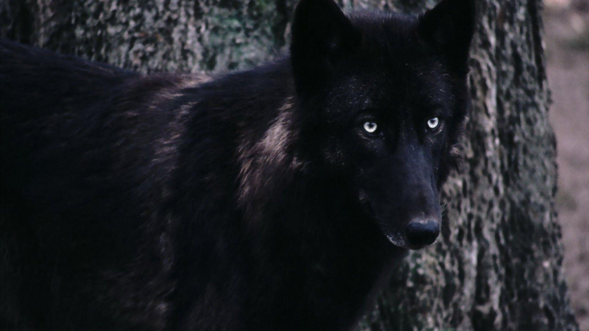 black wolf computer wallpapers - photo #1