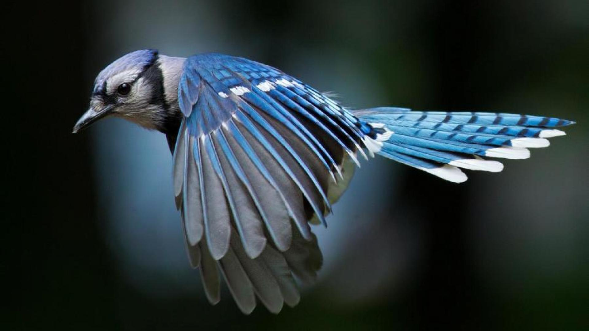 Blue jay flying clipart