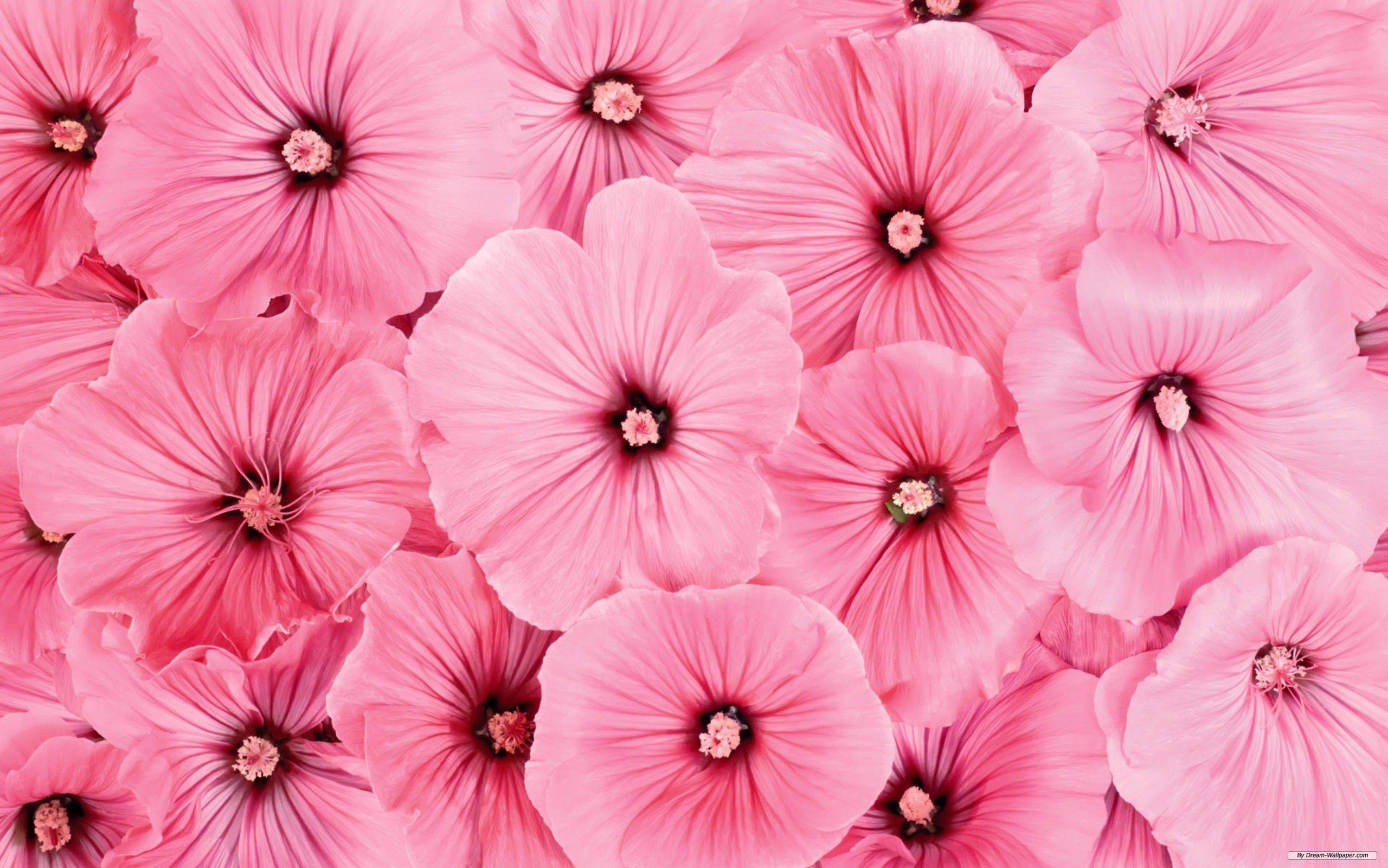Pink Flower Wallpapers Full Hd Wallpaper Search