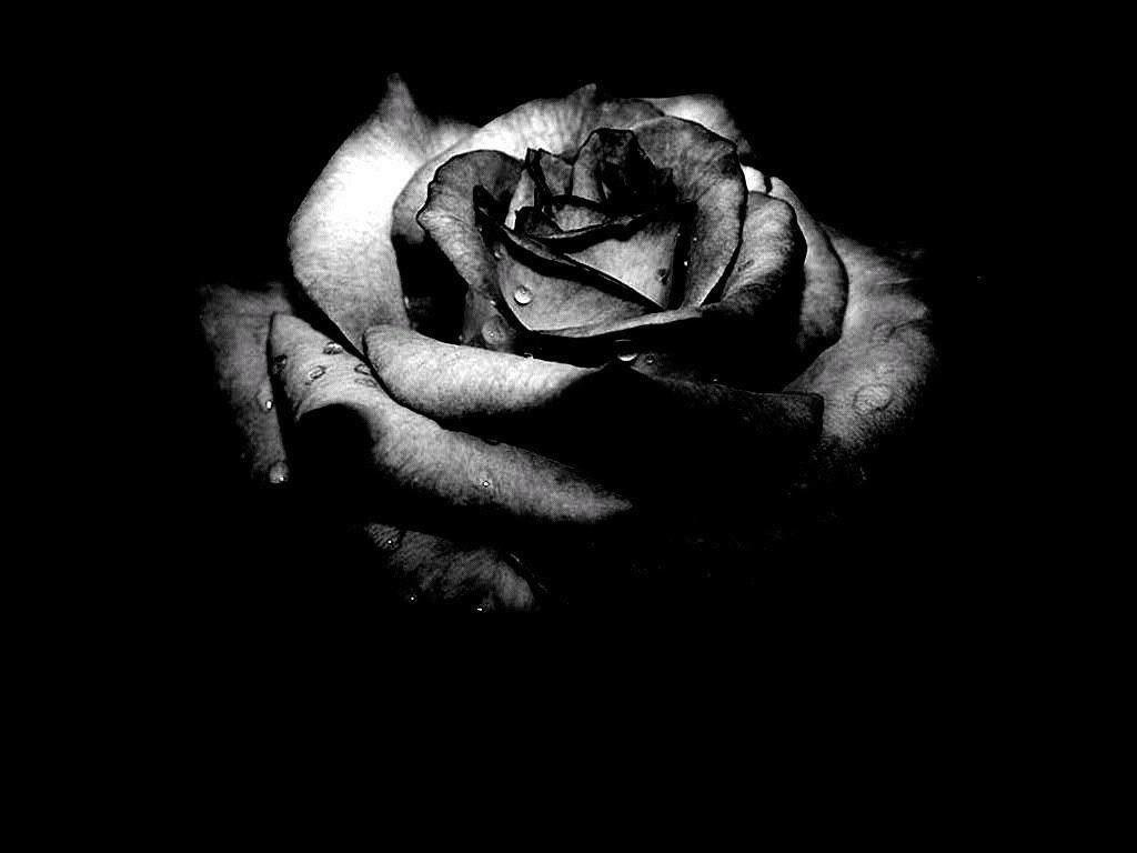 Single Black Rose Wallpaper
