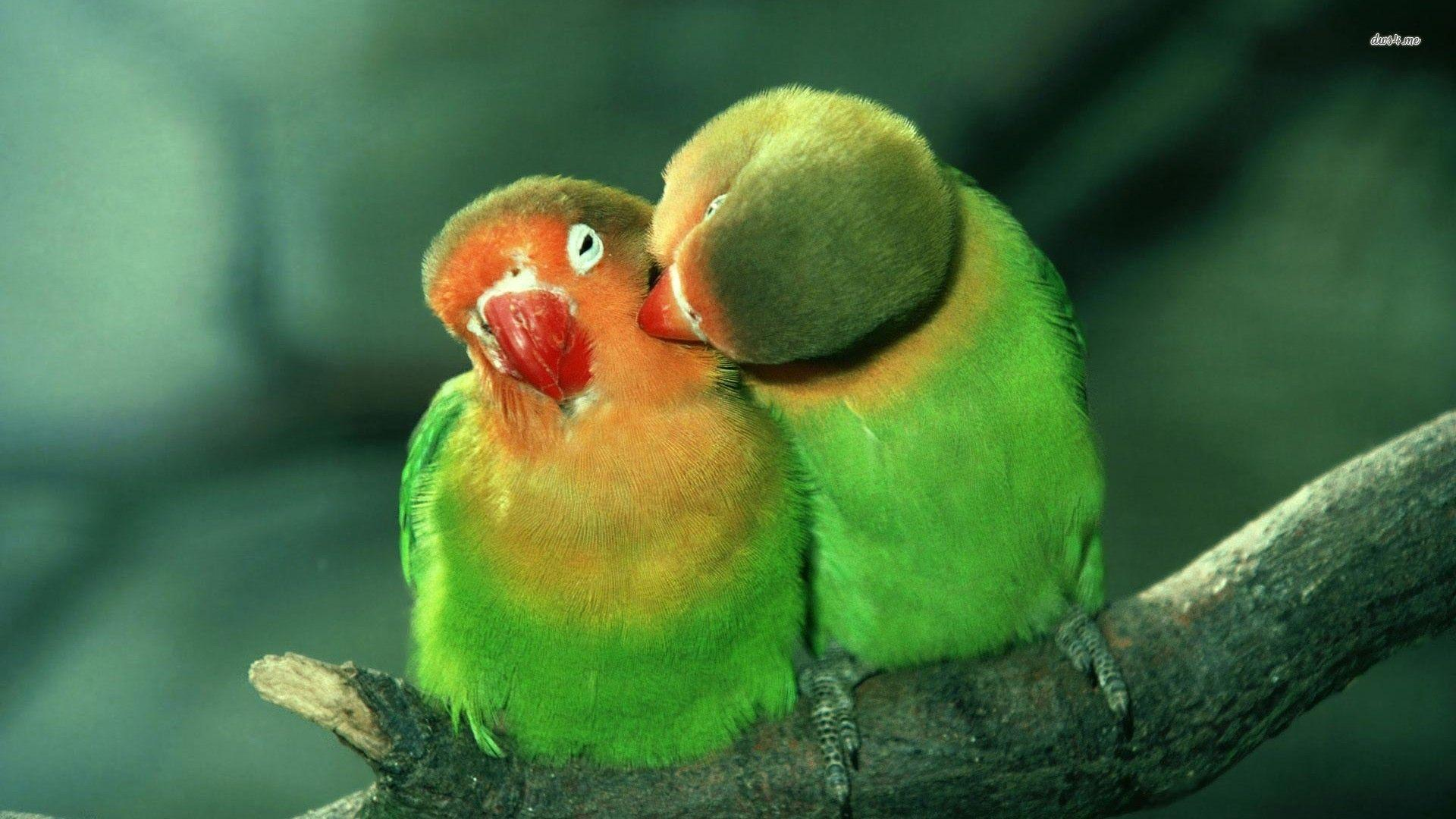 Lovebirds Wallpapers - Wallpaper Cave