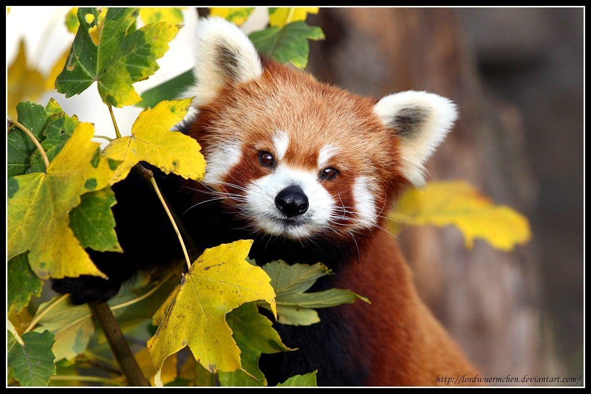 Red Panda Wallpaper 1920x1200 px Free Download - Wallpaperest ID 3107