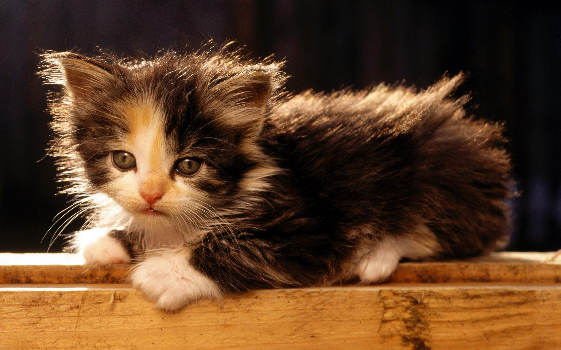 Free wallpapers American Bobtail cute kitten
