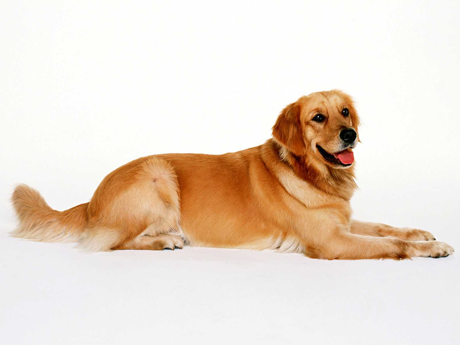 Golden Retriever Wallpaper Hd High Definition Wallpapers Idqum Xp