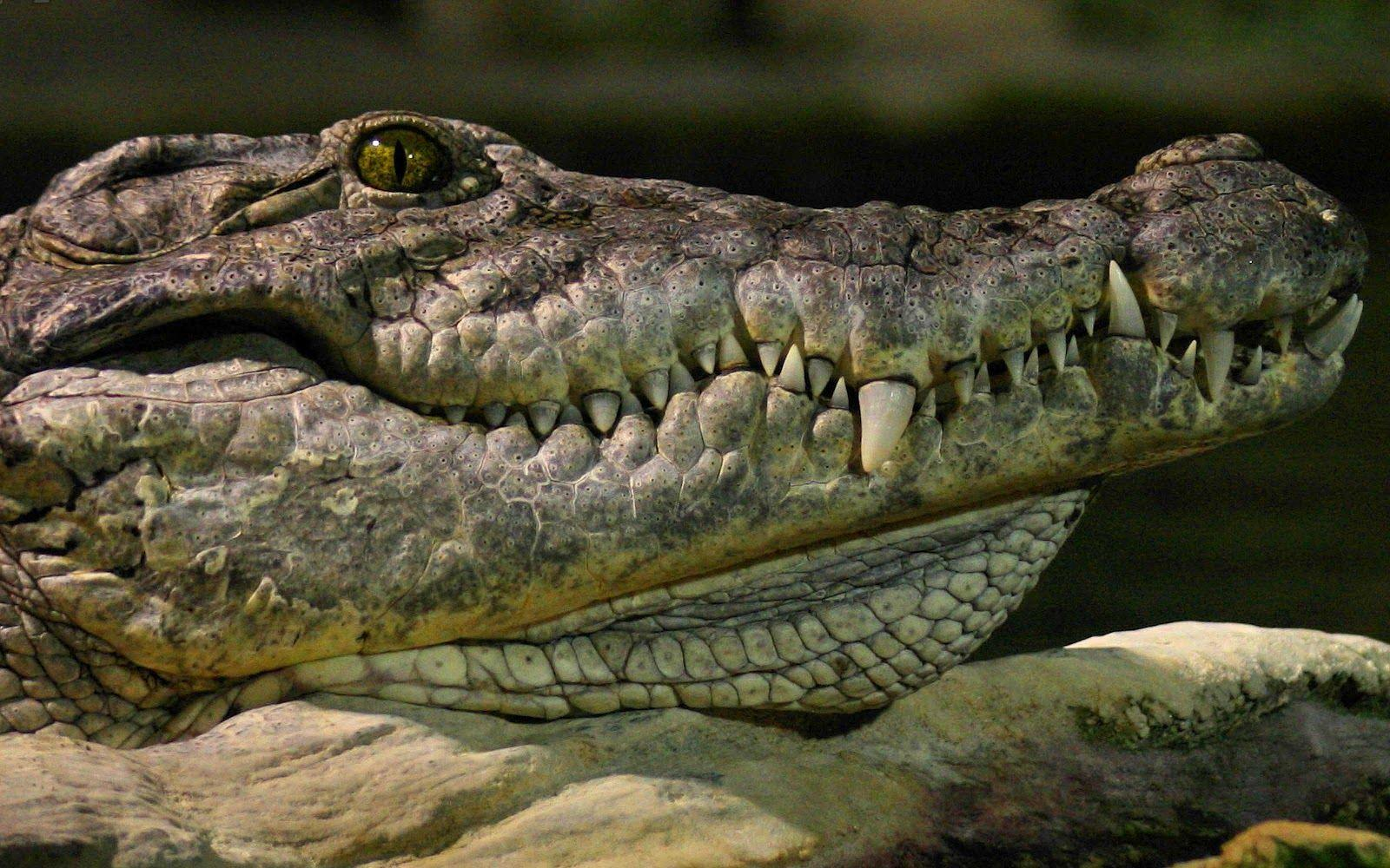 Android Phones Wallpapers: Android Wallpaper Crocodile