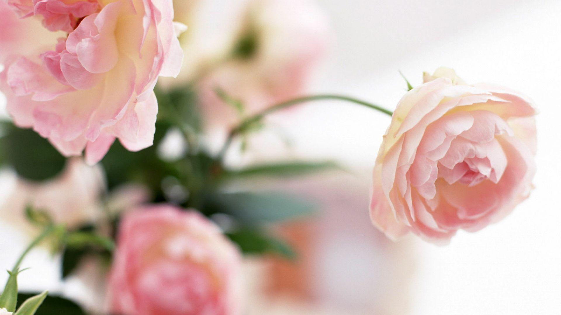 coral peonies wallpapers high - photo #26