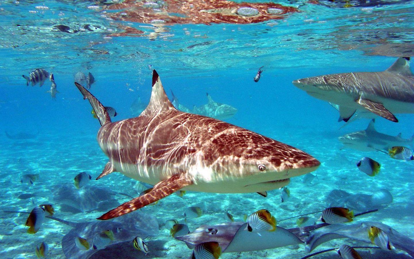 Images Of Sharks HD Shark Wallpa...