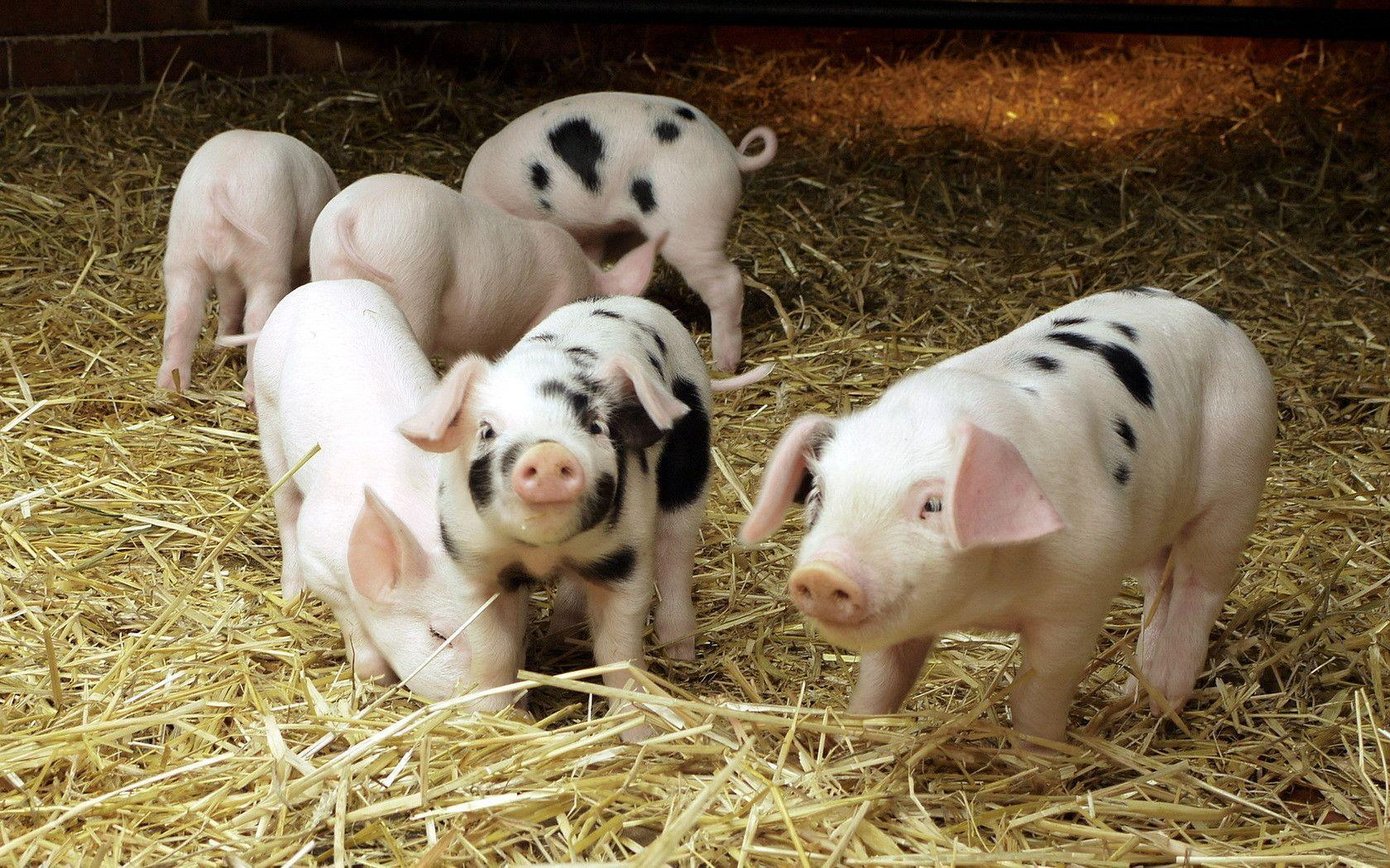 Are pigs cute? Y8WzRvZ