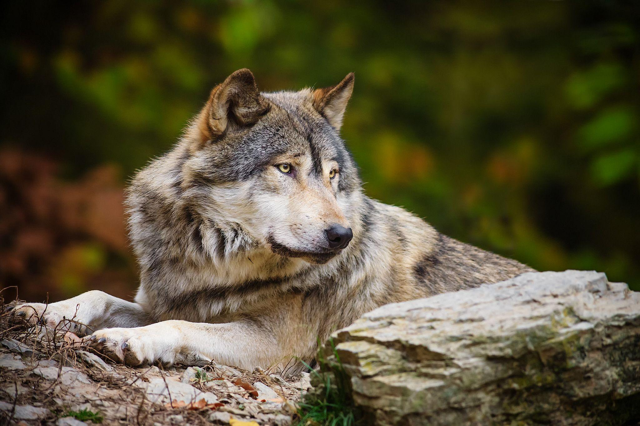 wolf wallpapers ndash animal - photo #5