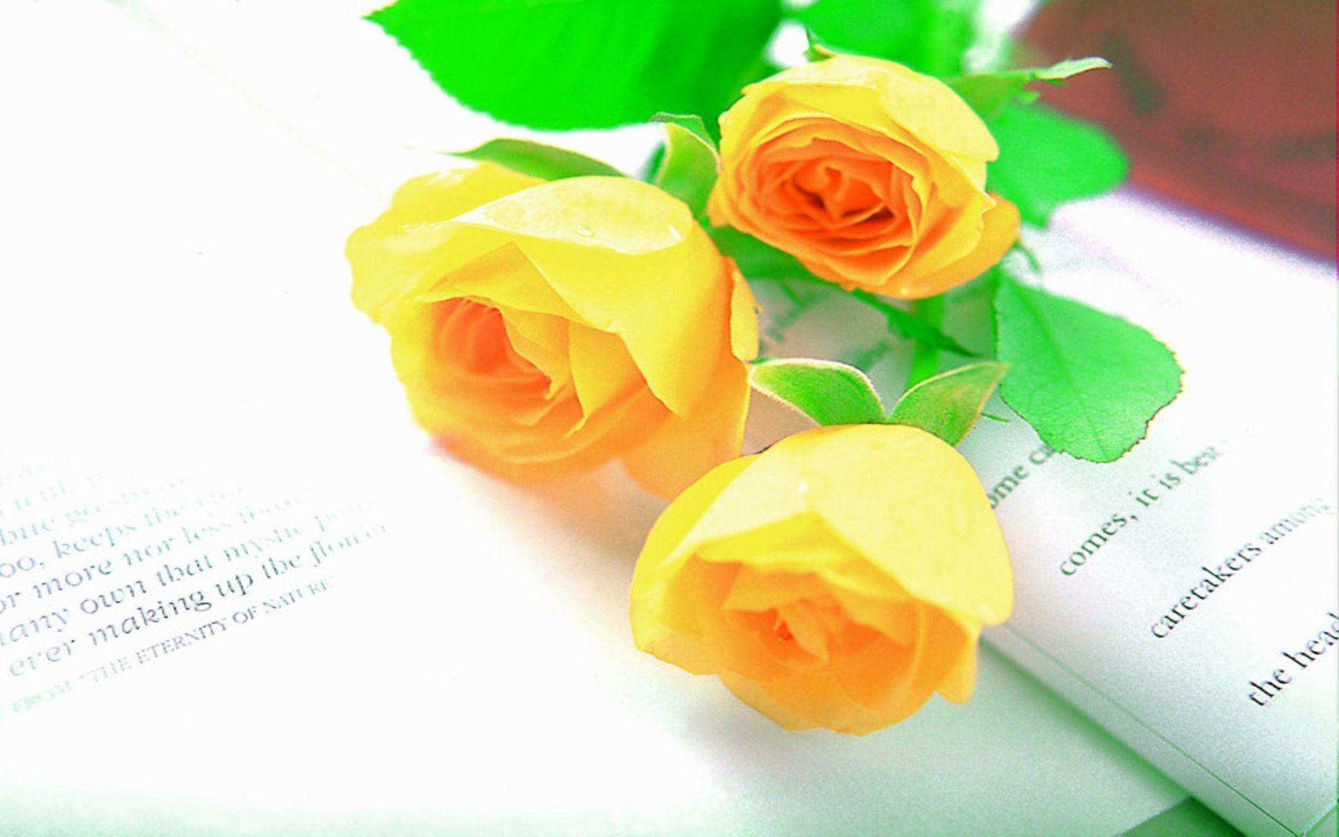 Hd wallpaper yellow rose - Hd Yellow Roses Wallpaper Download Free 1920x1200px Hd Wallpaper