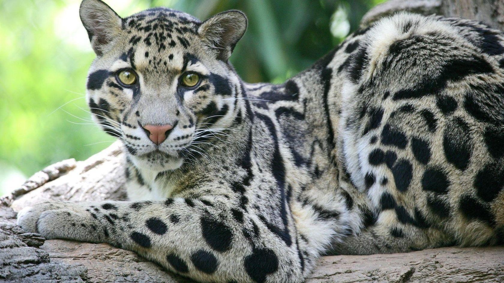 clouded leopard wallpaper - photo #1