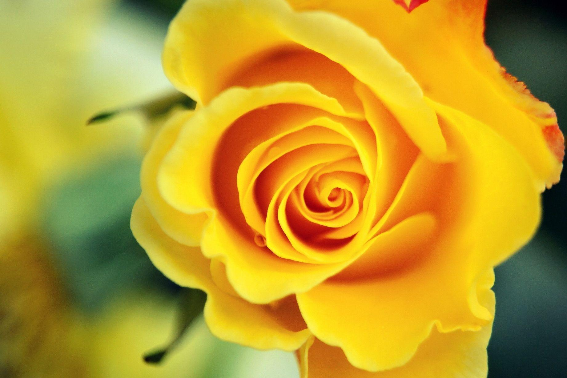wallpaper of yellow roses - photo #8