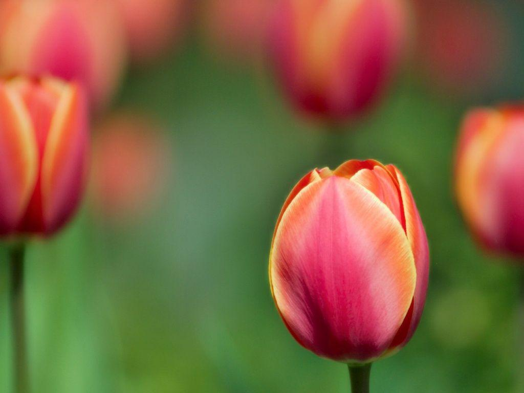 1024x768 Red tulip desktop PC and Mac wallpapers