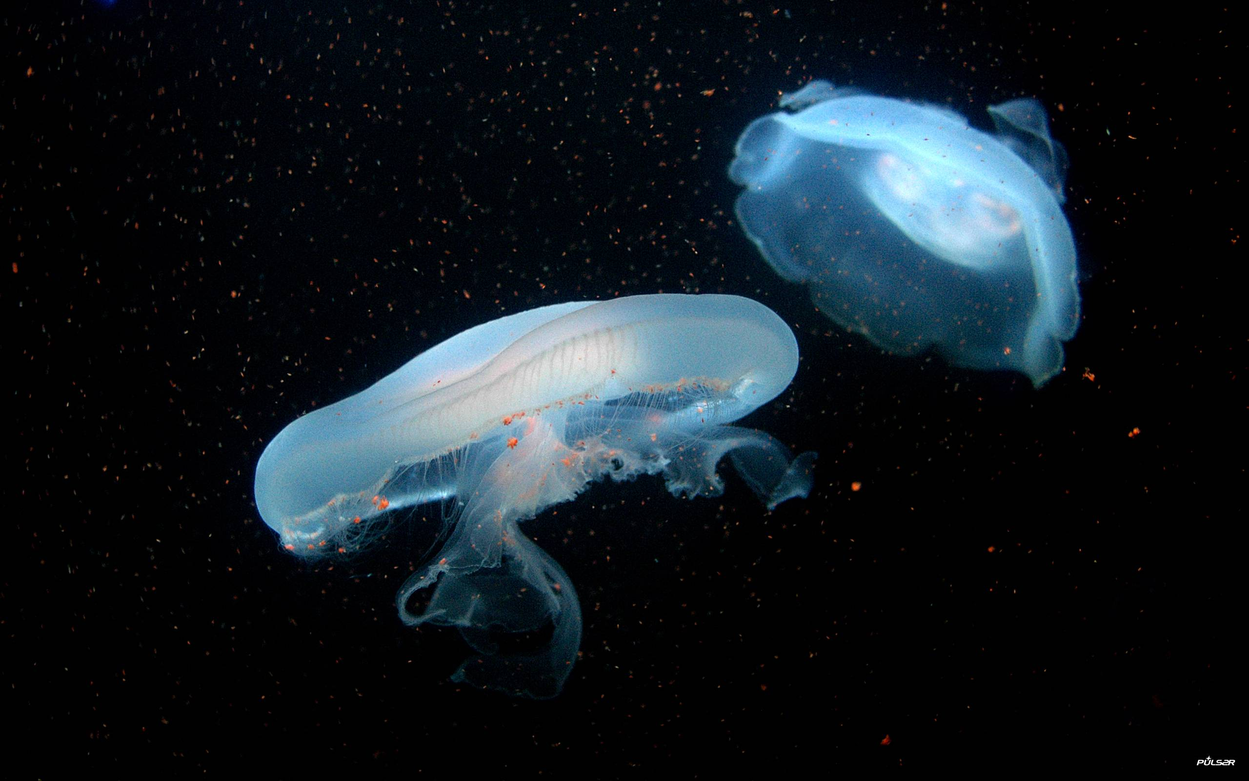 jellyfish wallpapers wallpaper cave