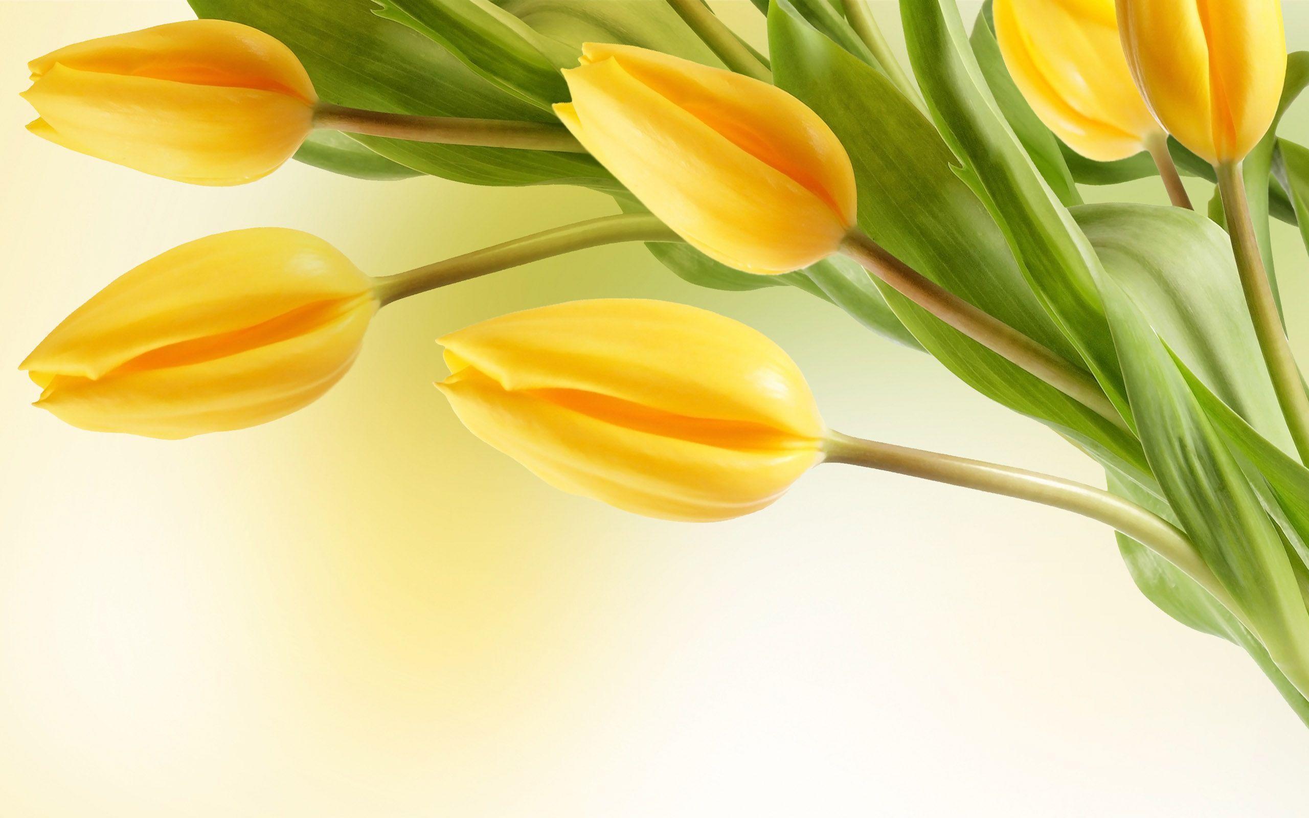 Tulip Flower Wallpapers