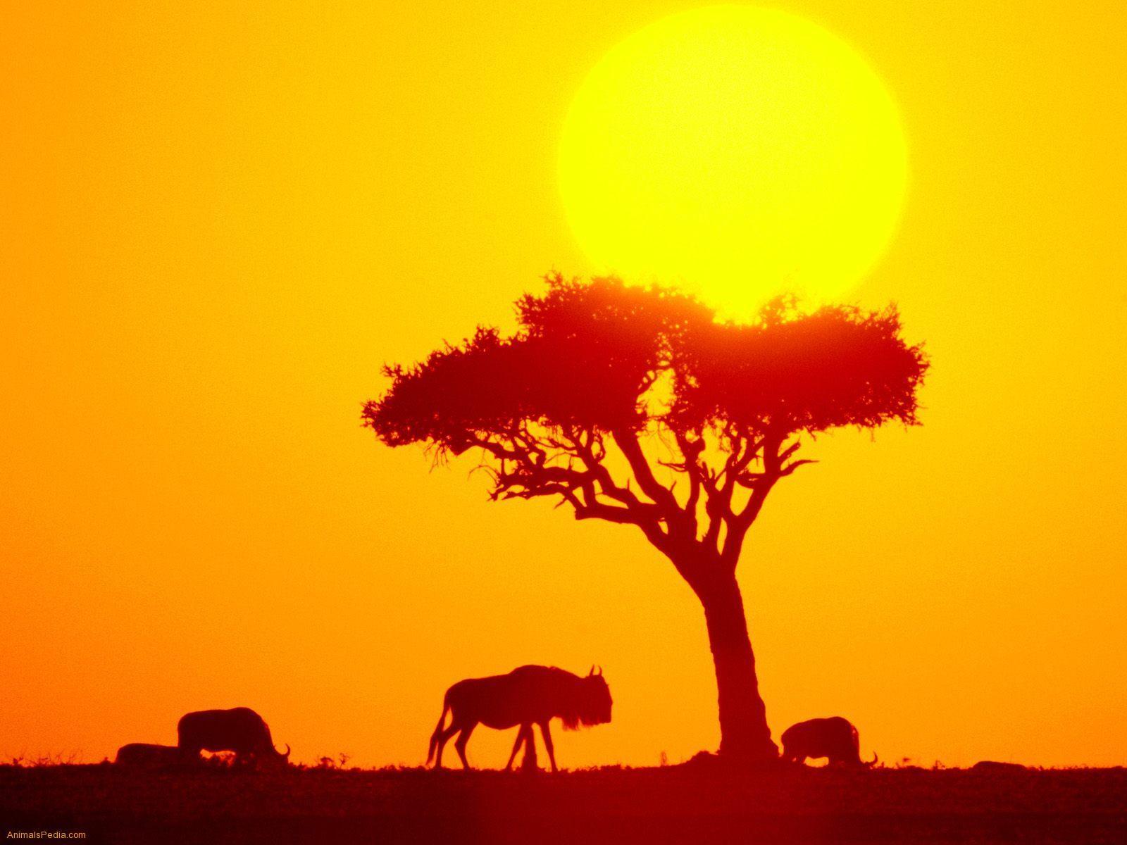 Wildebeest Herd Africa wallpaper - Animal Backgrounds