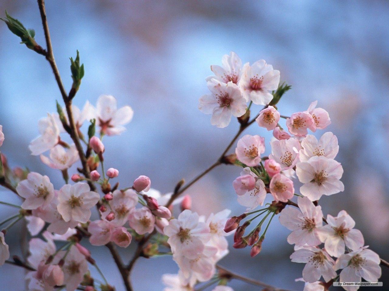 Cherry Blossom Desktop Wallpapers - Wallpaper Cave