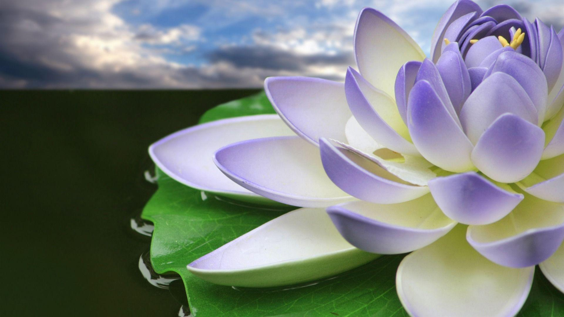 Download Purple Lotus Flower Wallpapers