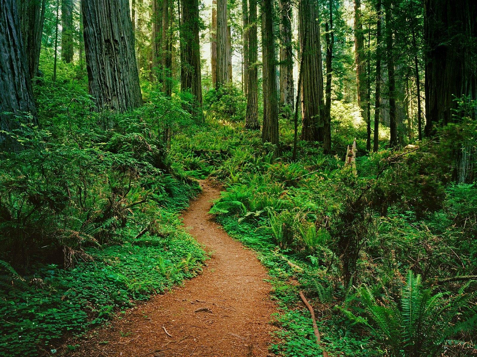 Redwood Forest Wallpapers HD