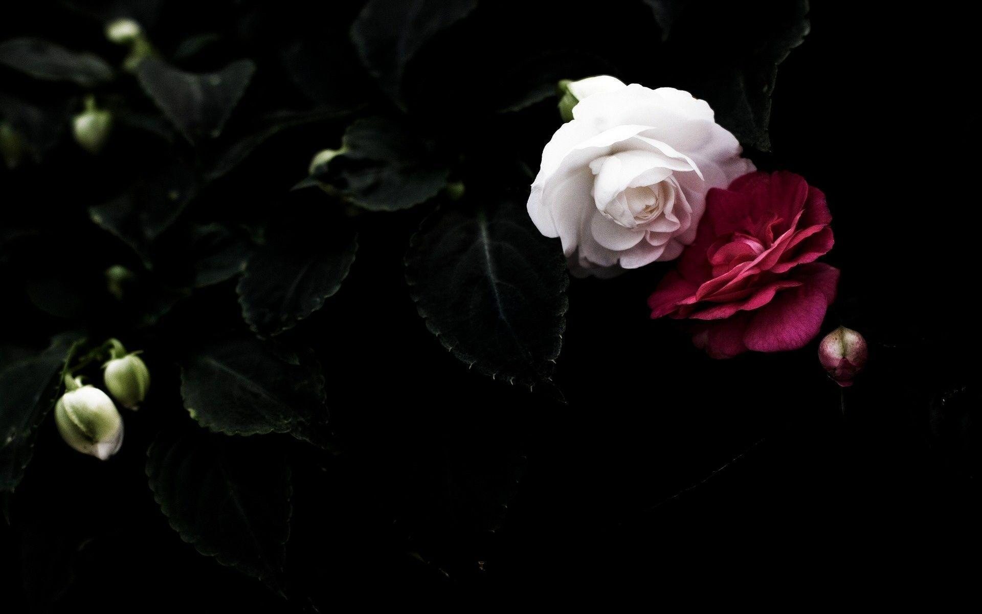 Wallpapers For Gothic White Rose Wallpaper