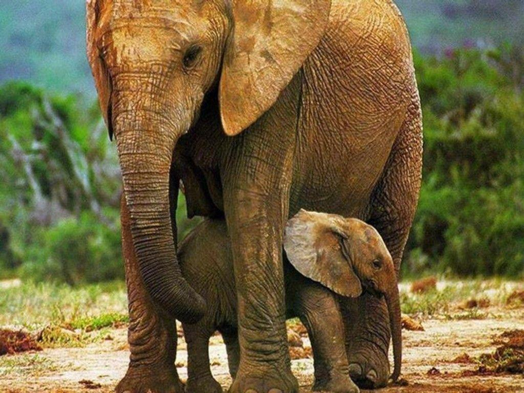 Free Download African Elephant Image