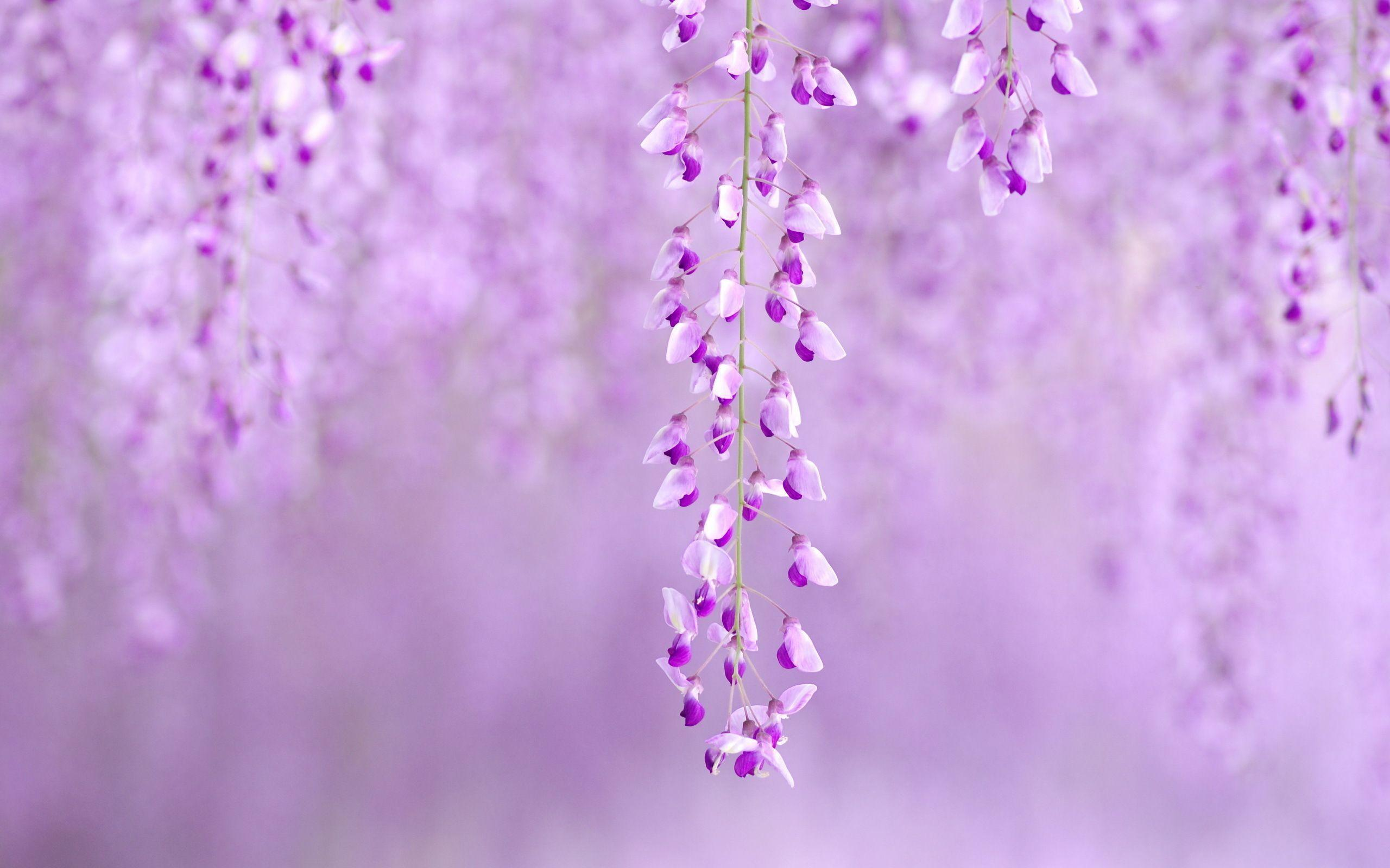 Wisteria wallpapers wallpaper cave for Purple wallpaper for home