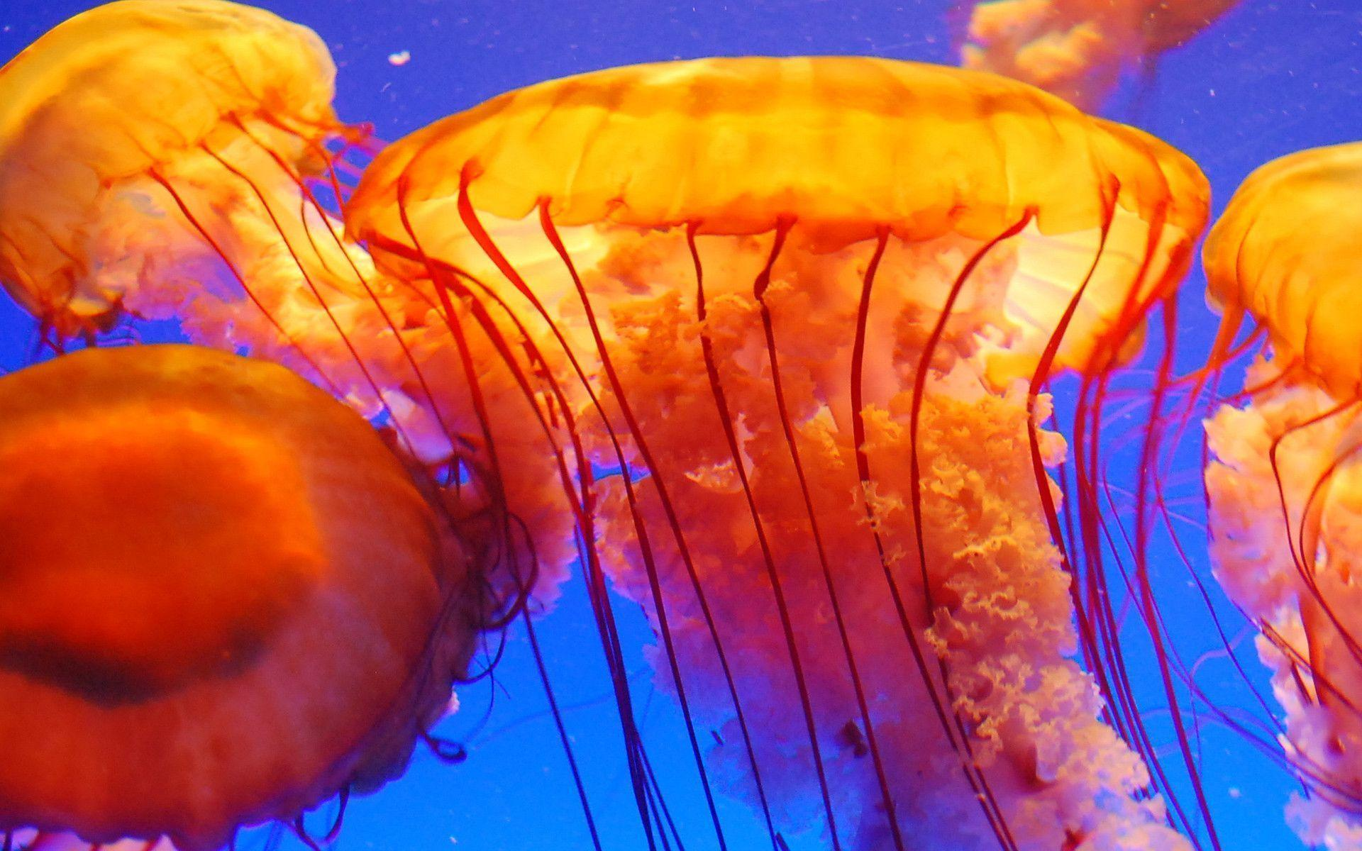 Jellyfish Wallpapers - Wallpaper Cave
