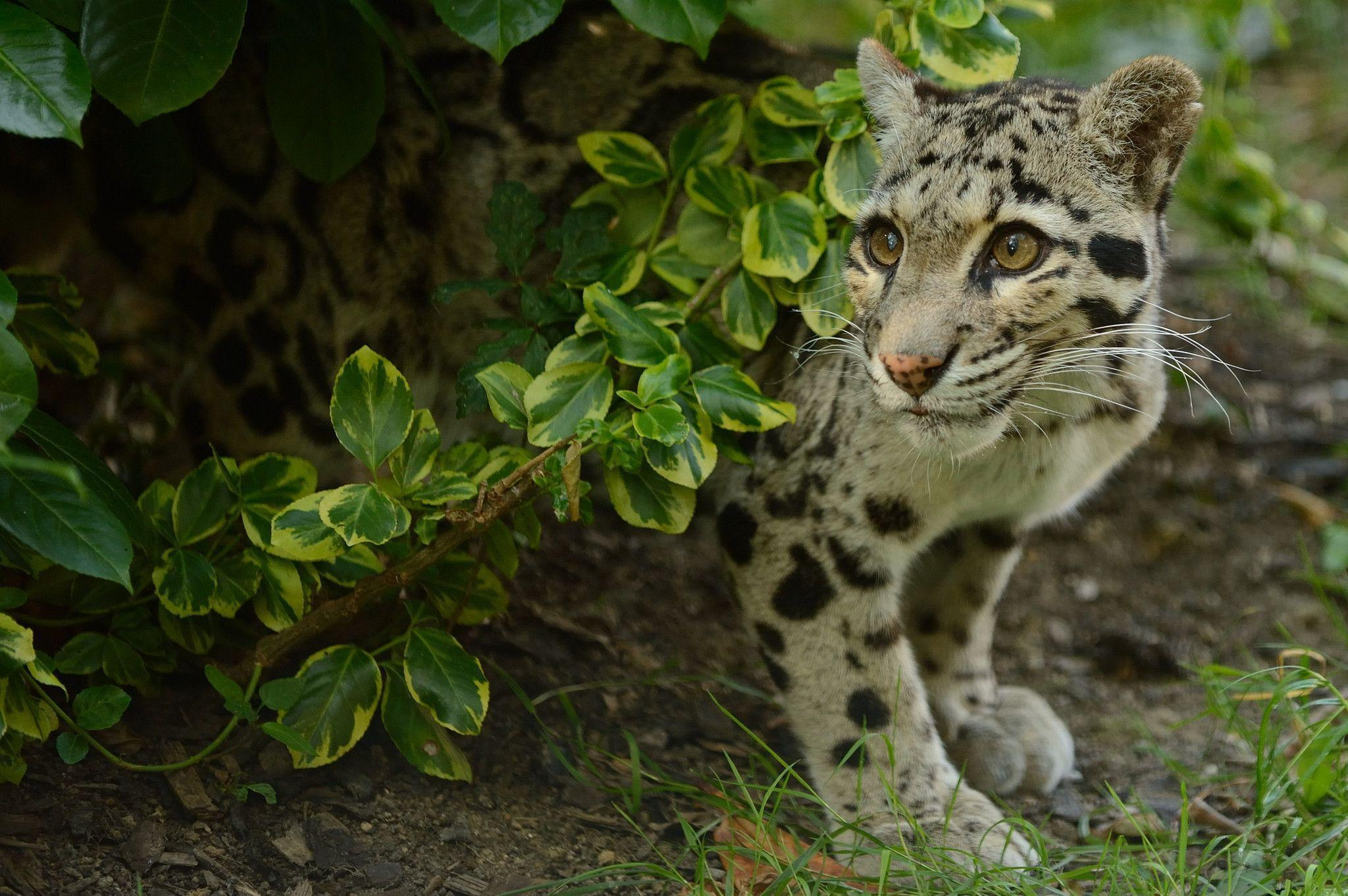 clouded leopard wallpaper - photo #6