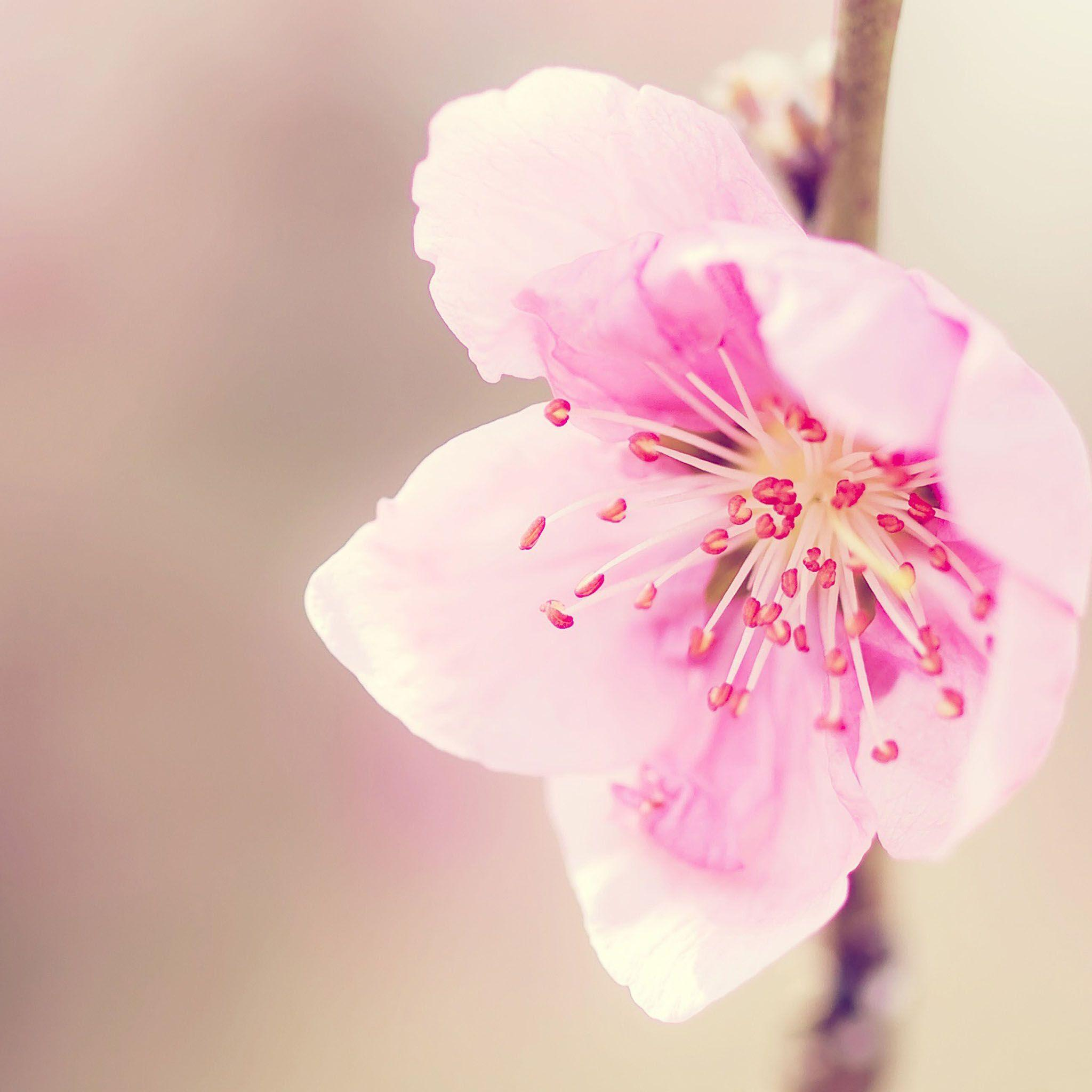 Pink Flowers Wallpaper: Pictures Of Pretty Backgrounds