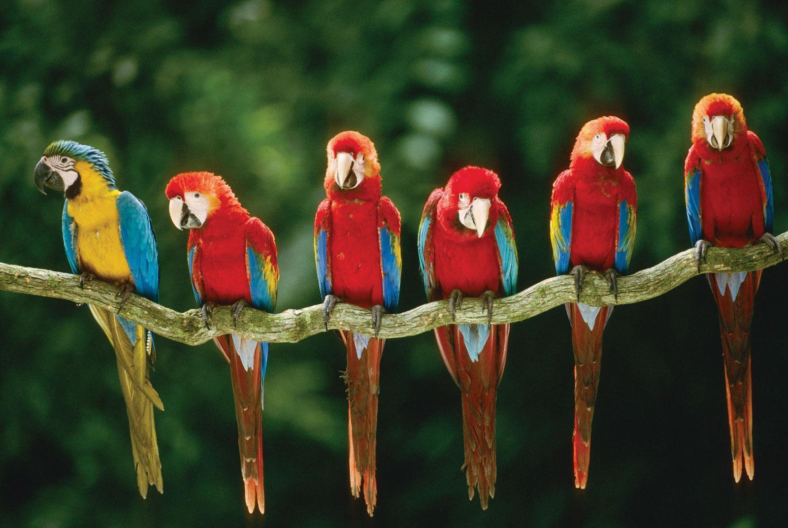 Free wallpaper Green winged macaw blue and yellow macaw parrots