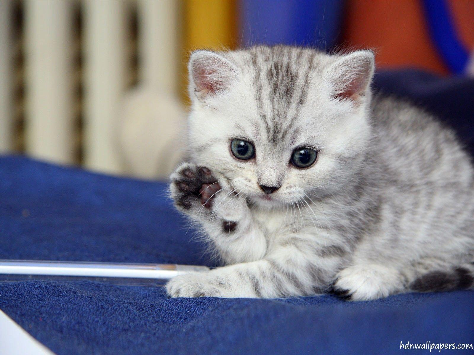 Cute Kitten Wallpapers free download