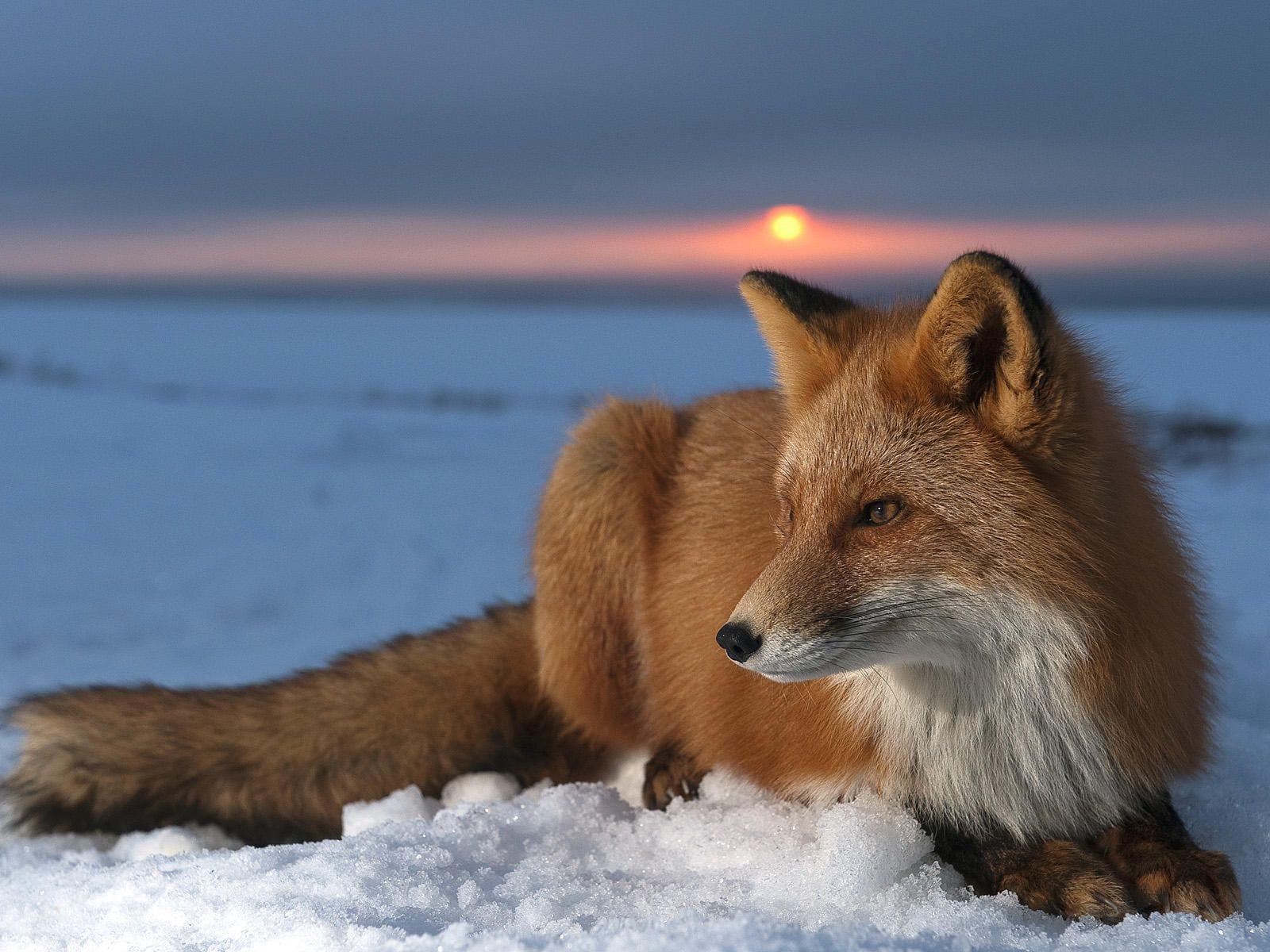 Image - Red fox wallpaper 2.jpg - Animal Jam Wiki