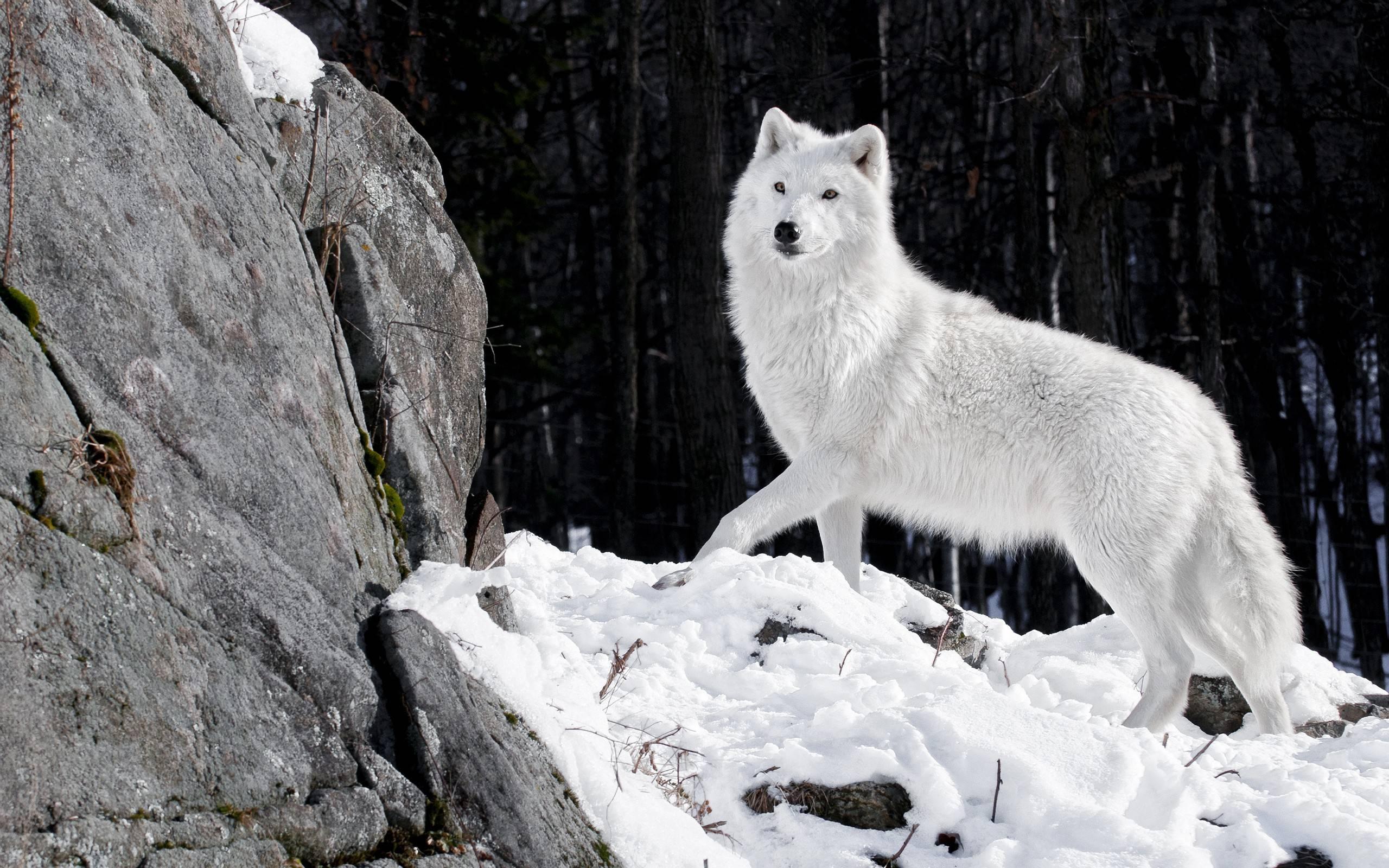 20 HD Wolf Wallpaper