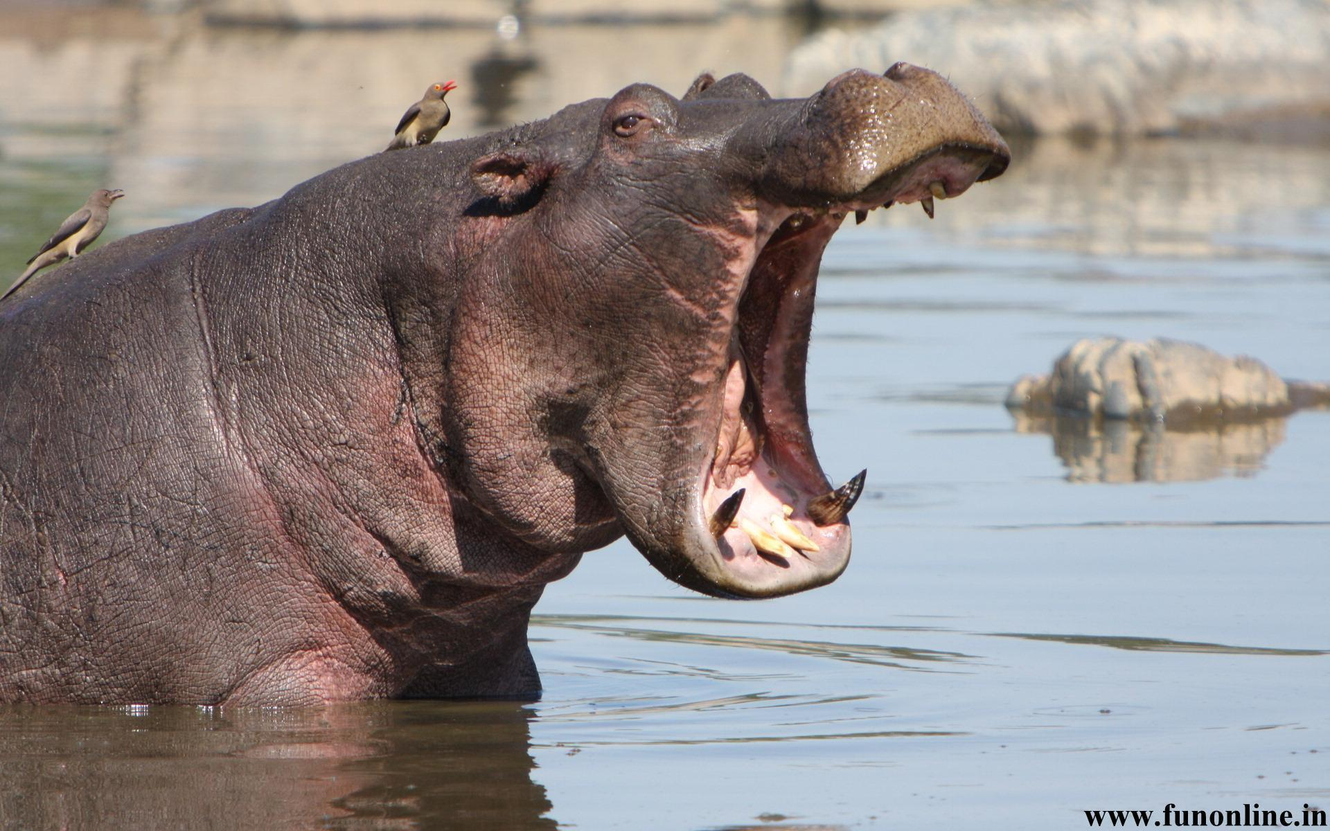 Hippopotamus Wallpapers, Download Free Giant Hippos HD Wallpaper