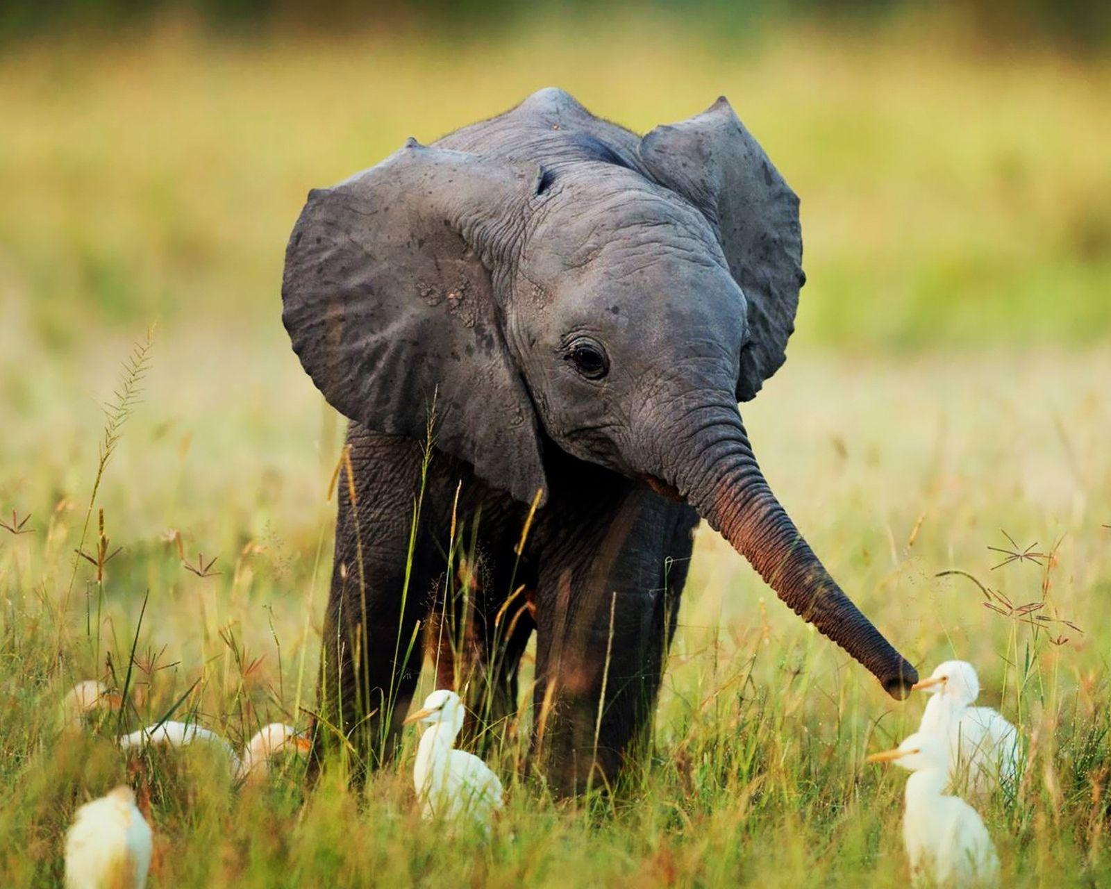 baby_elephant_wallpapers_free_ ...