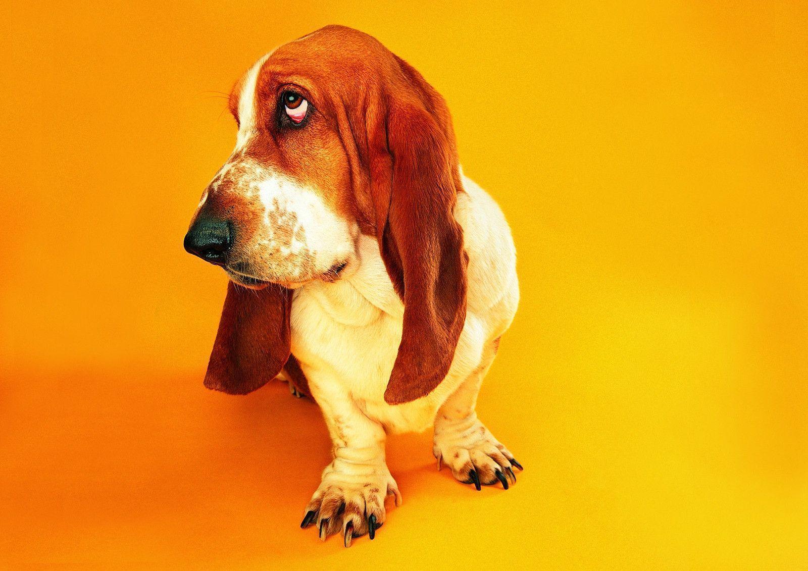 basset hound puppies wallpaper - photo #12