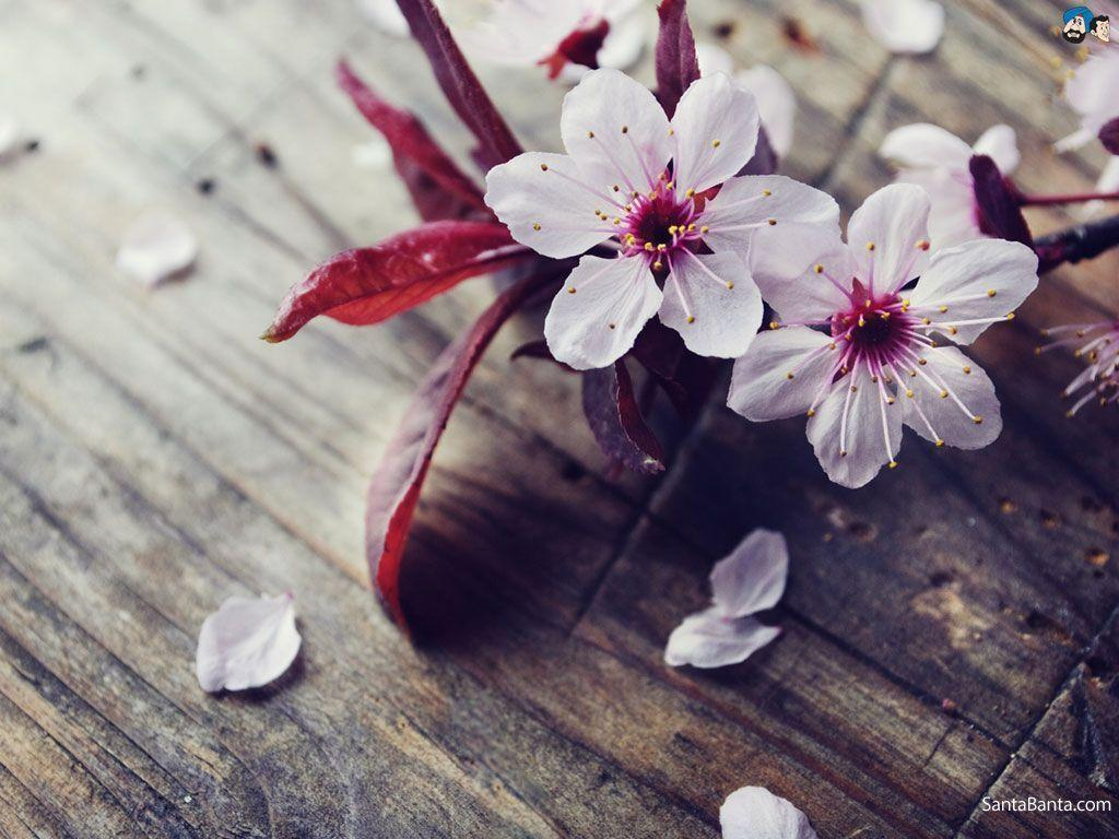hd cherry blossom backgrounds - photo #22