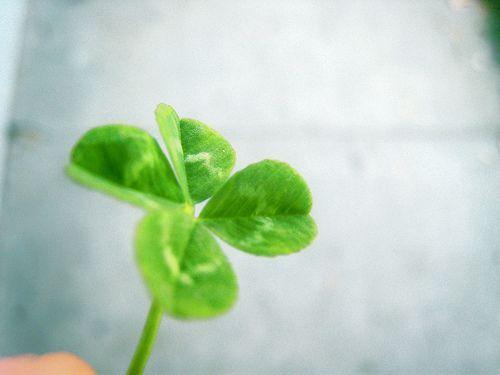 Wallpapers For > Four Leaf Clover Desktop Wallpapers
