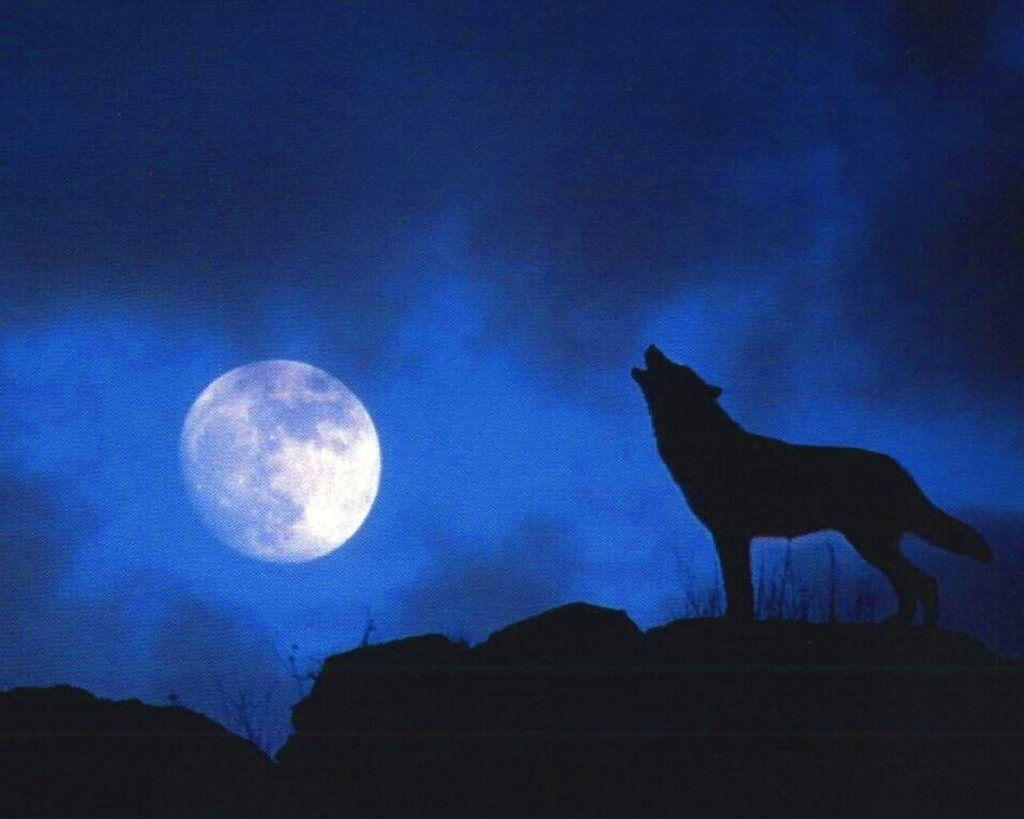 Wallpapers For > Blue Moon Wolf Wallpapers